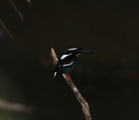 Picture of Silvery Kingfisher, Alcedo argentata