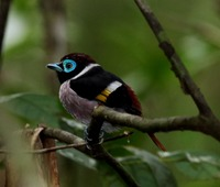 Picture of Mindanao Broadbill, Eurylaimus steerii