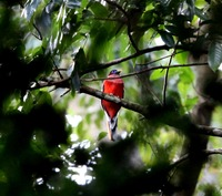 Picture of Philippine Trogon, Harpactes ardens