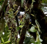 Picture of Philippine Falconet, Microhierax erythrogenys