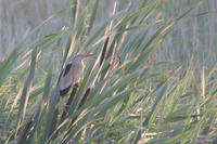 Picture of Little Bittern, Ixobrychus minutus