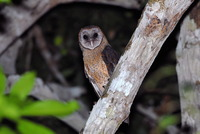 Picture of Sulawesi Owl, Tyto rosenbergii
