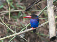Picture of Javan Kingfisher, Halcyon cyanoventris