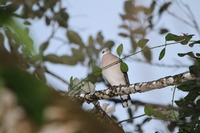 Picture of Grey-headed Dove, Leptotila plumbeiceps