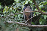 Picture of Boat-billed Heron, Cochlearius cochlearius