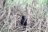 Picture of Nicaraguan Grackle, Quiscalus nicaraguensis