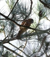Picture of Parrot Crossbill, Loxia pytyopsittacus