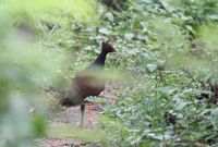 Picture of Orange-footed Megapode, Megapodius reinwardt