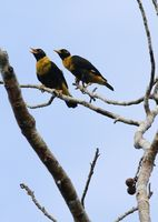 Picture of Golden Myna, Mino anais