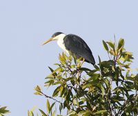 Picture of Pied Heron, Ardea picata