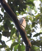 Picture of Vinous-breasted Sparrowhawk, Accipiter rhodogaster