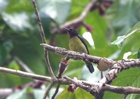 Picture of Plain-throated Sunbird, Anthreptes malacensis