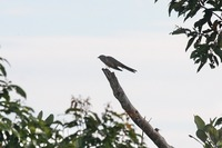 Picture of Rusty-breasted Cuckoo, Cacomantis sepulcralis