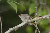 Picture of Sunda Bush-warbler, Cettia vulcania