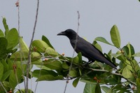 Picture of Slender-billed Crow, Corvus enca