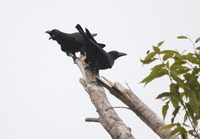 Picture of Banggai Crow, Corvus unicolor