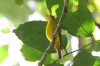Picture of Citrine Canary-flycatcher, Culicicapa helianthea