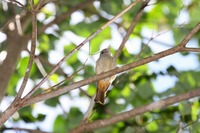 Picture of Matinan Flycatcher, Cyornis sanfordi