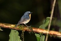 Picture of Snowy-browed Flycatcher, Ficedula hyperythra