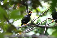 Picture of Hill Myna, Gracula religiosa