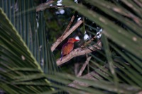 Picture of Ruddy Kingfisher, Halcyon coromanda