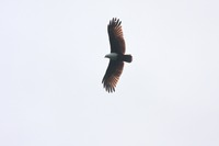 Picture of Brahminy Kite, Haliastur indus