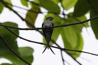 Picture of Grey-rumped Treeswift, Hemiprocne longipennis