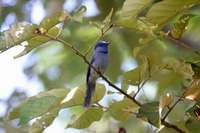 Picture of Black-naped Monarch, Hypothymis azurea