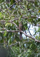 Picture of Brown Cuckoo-dove, Macropygia amboinensis