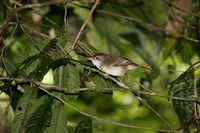 Picture of Scaly-crowned Babbler, Malacopteron cinereum