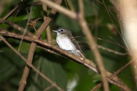 Picture of Moustached Babbler, Malacopteron magnirostre