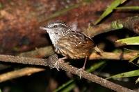 Picture of Eyebrowed Wren-babbler, Napothera epilepidota