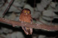 Picture of Cinnabar Hawk-owl, Ninox ios