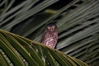 Picture of Brown Hawk-owl, Ninox scutulata