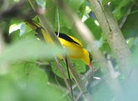 Picture of Black-naped Oriole, Oriolus chinensis