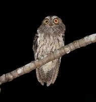 Picture of Sangihe Scops-owl, Otus collari