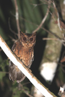 Picture of Mentawai Scops-owl, Otus mentawi