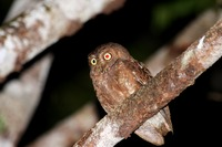 Picture of Simeulue Scops-owl, Otus umbra
