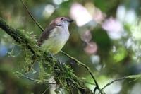Picture of Sulphur-bellied Whistler, Pachycephala sulfuriventer