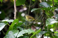Picture of Sulawesi Leaf-warbler, Phylloscopus sarasinorum