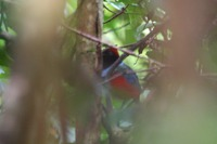 Picture of Red-bellied Pitta, Pitta erythrogaster