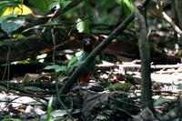 Picture of Hooded Pitta, Pitta sordida