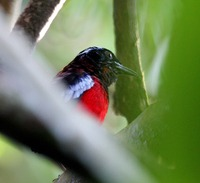 Picture of Black-headed Pitta, Pitta ussheri