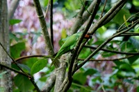 Picture of Long-tailed Parakeet, Psittacula longicauda