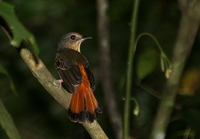 Picture of Rufous-tailed Shama, Trichixos pyrropygus