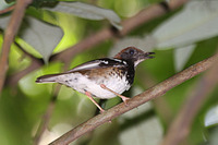 Picture of Enggano Thrush, Zoothera leucolaema