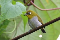Picture of Enggano White-eye, Zosterops salvadorii