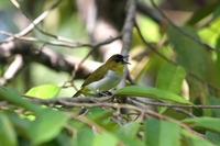 Picture of Togian White-eye, Zosterops somadikartai