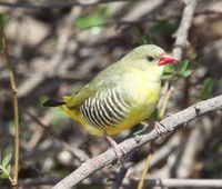 Picture of Green Avadavat, Amandava formosa