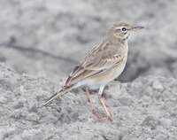 Picture of Paddyfield Pipit, Anthus rufulus